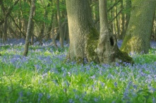 bluebell woods 5